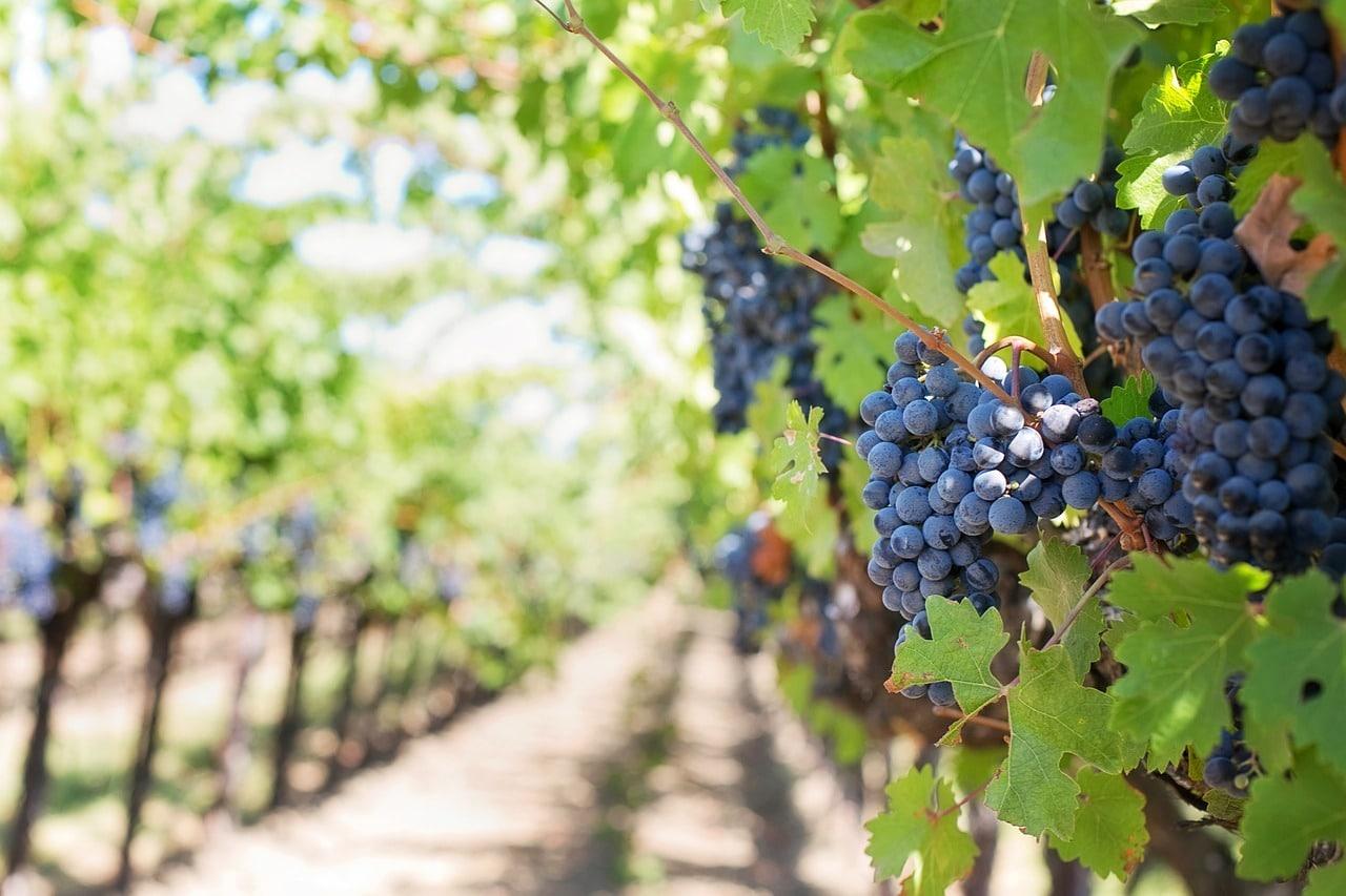 Le désherbage mécanique des vignes