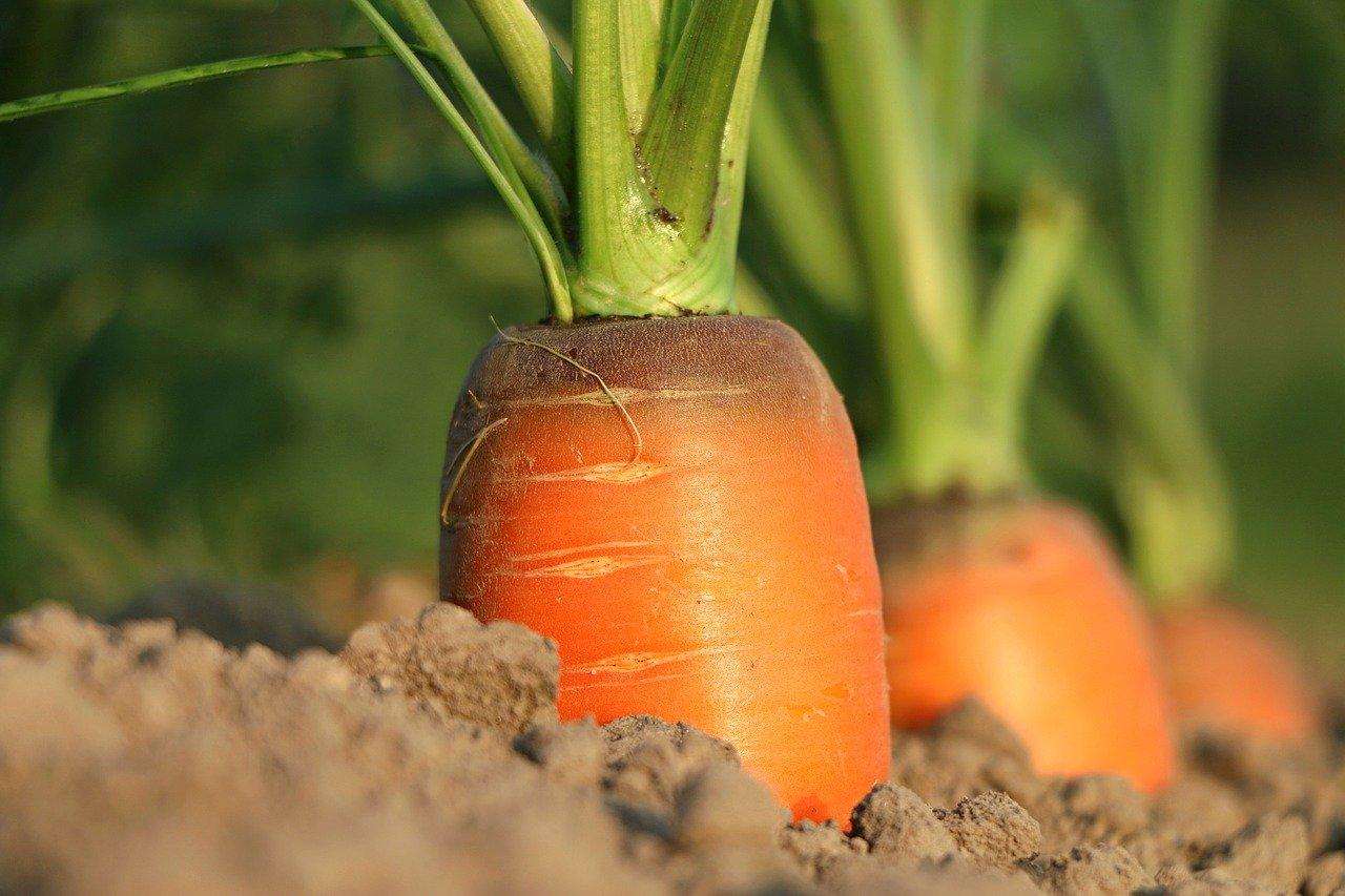 Préparation du sol pour la culture de carottes
